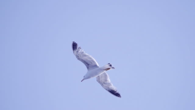 seagulls flying - slow motion - gliding stock videos and b-roll footage