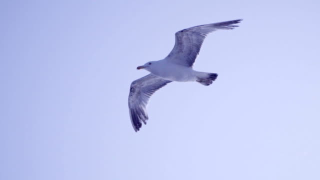 seagulls flying - slow motion - dusk stock videos & royalty-free footage