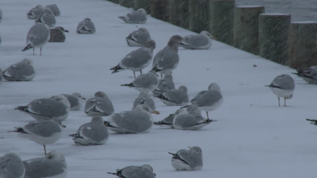 seagulls huddle during a snowstorm, nor'easter, cold weather - long island video stock e b–roll