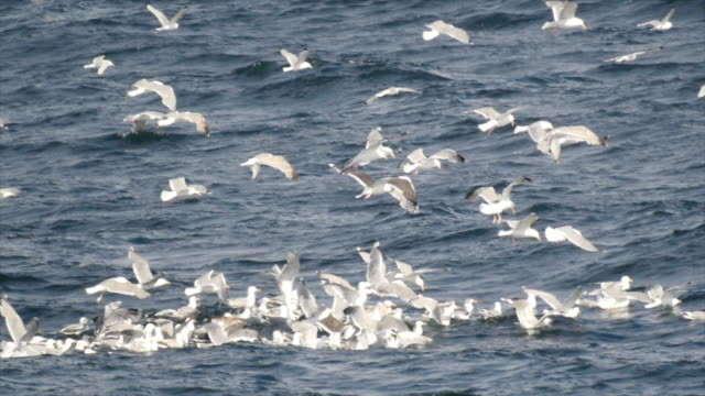 seagulls hunting for sand eels in the sea, Finnmark, Norway