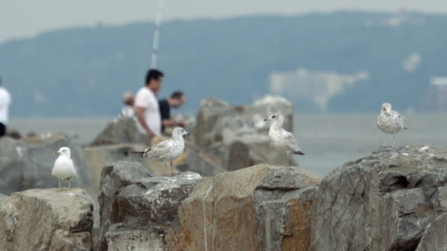 seagulls in front of fisherman, hudson river bank - eastern usa stock videos and b-roll footage