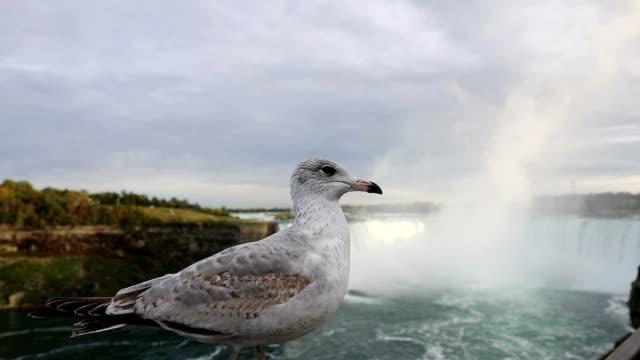 Meeuwen in Niagara Falls, Canada
