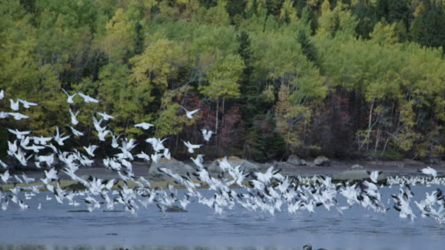 Seagulls in St. Lawrence River fly away