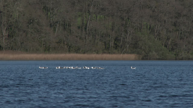 Seagulls on a loch in south west Scotland