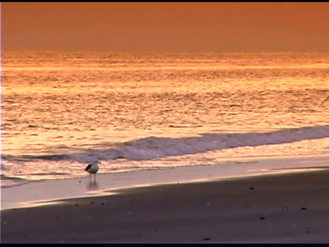 vidéos et rushes de seagulls on beach at sunset - organisme aquatique
