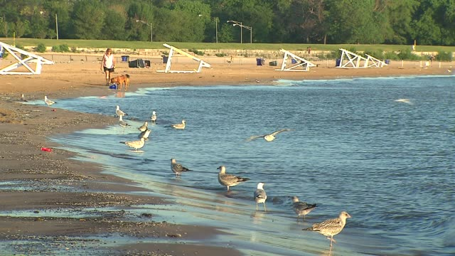 seagulls on beach shore at montrose beach on july 23 2013 in chicago illinois - seeufer stock-videos und b-roll-filmmaterial