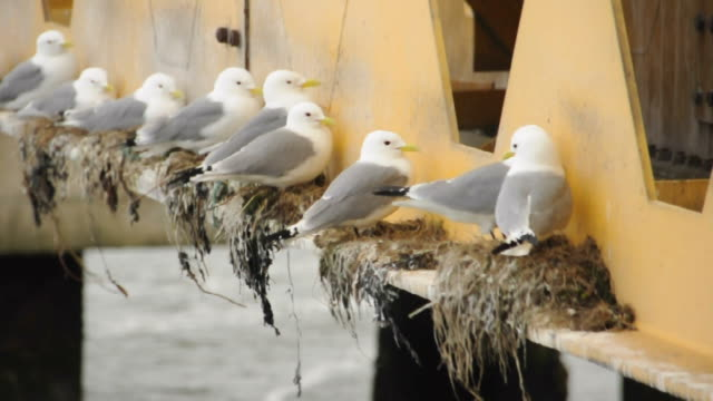 seagulls on nest - bird's nest stock videos & royalty-free footage