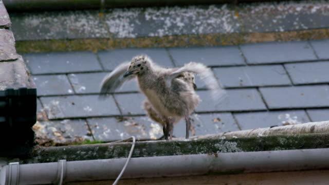 vídeos de stock e filmes b-roll de seagulls on roof - grupo pequeno de animais