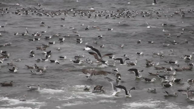 Seagulls on rough seas with audio