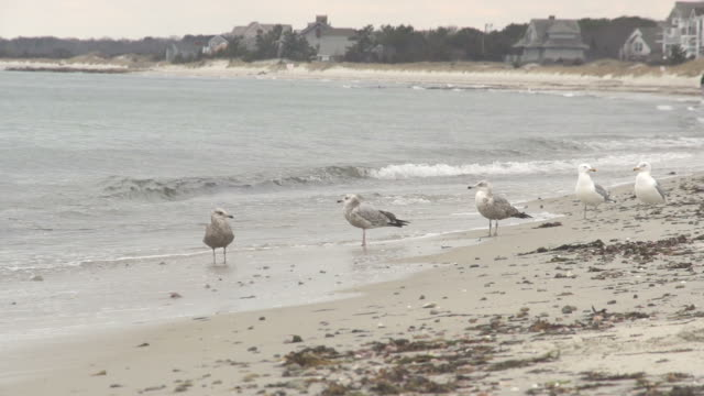 seagulls on the beach - marram grass stock videos and b-roll footage