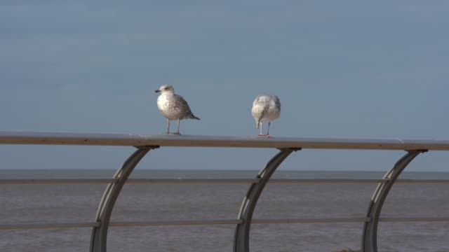seagulls on the railing next to the sea on october 20 2020 in blackpool england lancashire has entered tier 3 of the government's coronavirus alert... - water bird stock videos & royalty-free footage