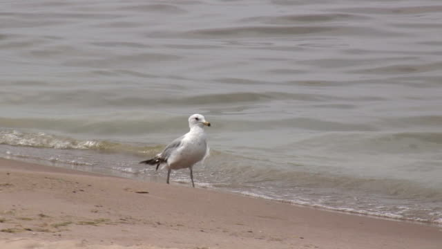 seagulls on the sandy beach 4 - hd 1080/60i - named wilderness area stock videos & royalty-free footage