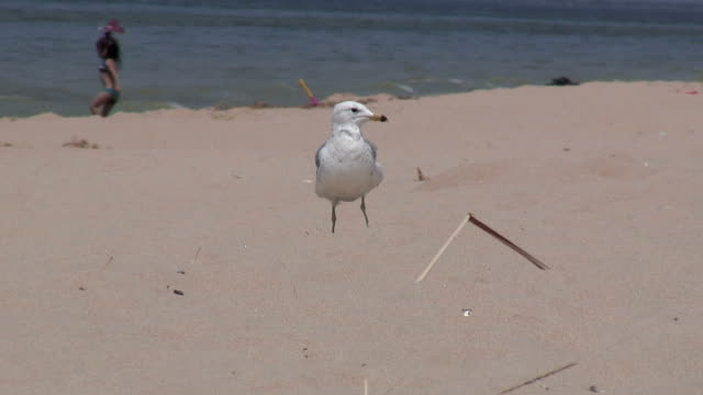 seagulls on the sandy beach 6 - hd 1080/60i - named wilderness area stock videos & royalty-free footage