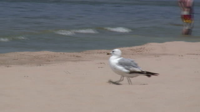 seagulls on the sandy beach 7 - hd 1080/60i - named wilderness area stock videos & royalty-free footage