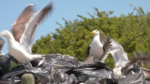 seagulls on trash bags - medium close shot - medium group of animals stock-videos und b-roll-filmmaterial