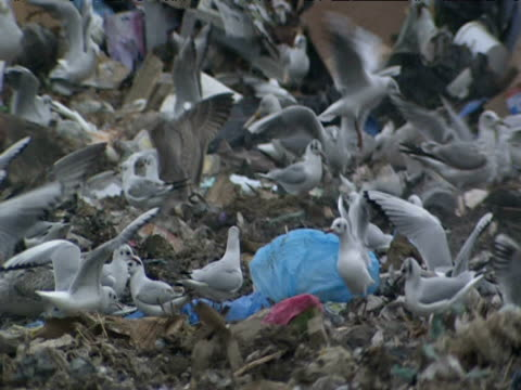 Seagulls pick through rubbish at landfill site Surrey
