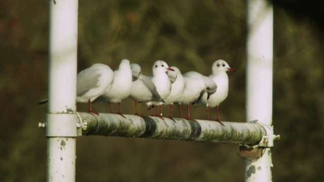 Seagulls rest on flooded rugby goal posts, Upton-Upon-Severn, Worcestershire, England