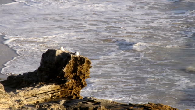 MS Seagulls sitting on rocky outcrop / Arniston/ Western Cape/ South Africa