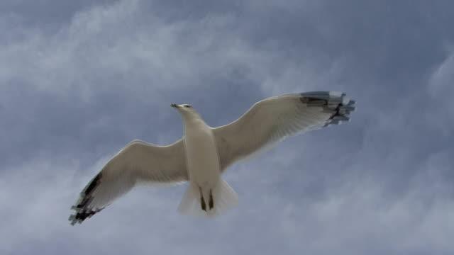 stockvideo's en b-roll-footage met seagulls soaring high - dierlijke mond