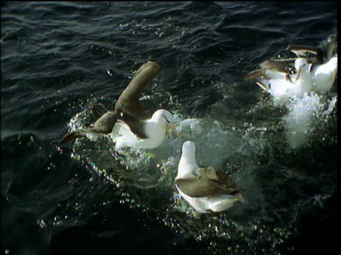 vidéos et rushes de seagulls splash about on sea surface dunking heads under to catch food - se nourrir des restes