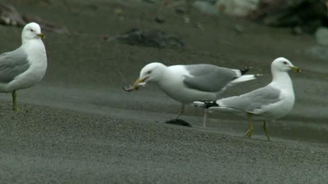 seagulls strut along a sandy beach where they capture small fish. - vattenfågel bildbanksvideor och videomaterial från bakom kulisserna