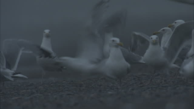 seagulls strut, forage and then fly away on a rocky coastline. - 海洋性の鳥点の映像素材/bロール