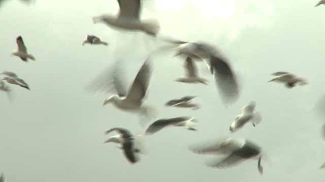Seagulls swarm above workers collecting sheets of plastic at a landfill. Available in HD.