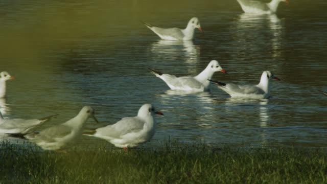 vidéos et rushes de seagulls swim on flooded rugby pitch, upton-upon-severn, worcestershire, england - terrain de sport sur gazon