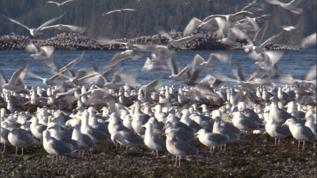 seagulls take off and land along the alaska coast. available in hd. - sjöfågel bildbanksvideor och videomaterial från bakom kulisserna