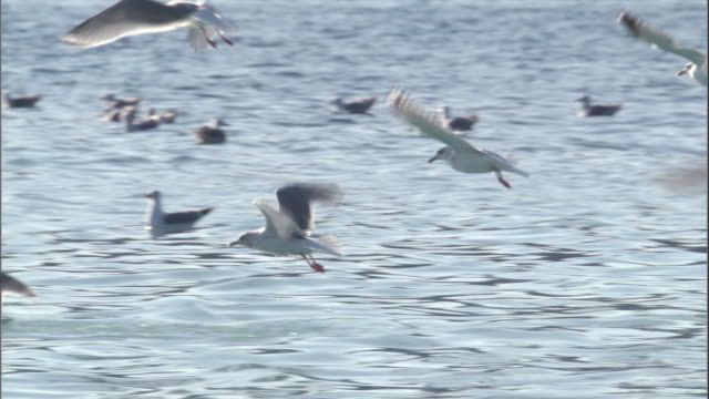 seagulls take off from the surface of the water. available in hd. - sea bird stock videos & royalty-free footage