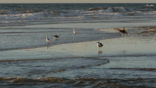 vídeos de stock e filmes b-roll de seagulls walking/wading on ocean beach, wind-driven, crashing waves - grupo pequeno de animais
