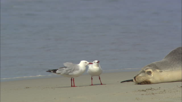 vidéos et rushes de seagulls wander near a seal that rests on a beach at kangaroo island eating and pecking at the sand. - mouette