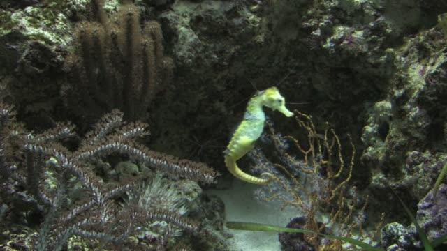 stockvideo's en b-roll-footage met seahorse 1 - hd 1080/30f - zeepaardje