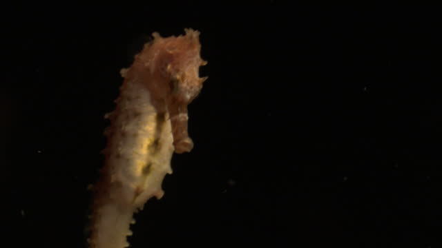 Seahorse (Hippocampus) swims away, Hawaii