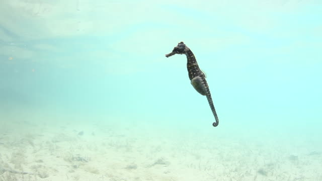 Seahorse swims in Sargasso Sea, POV