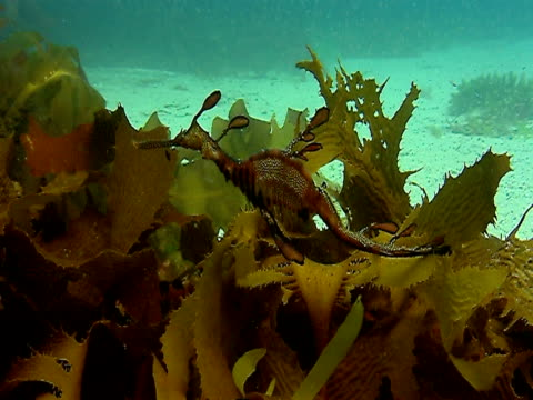 A seahorse swims over seaweed near the ocean floor in Tasmania.