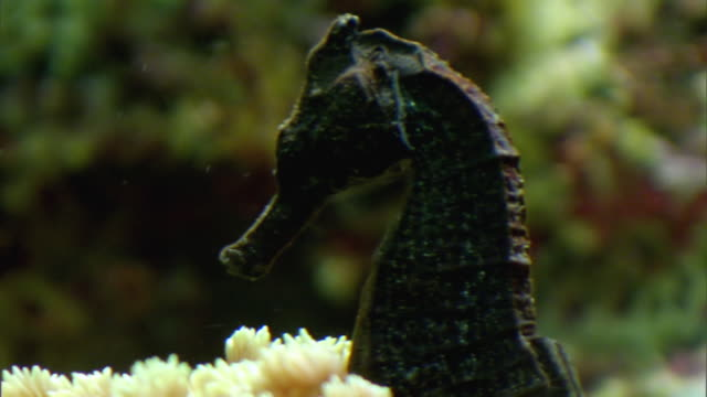 cu pan seahorses swimming in aquarium / chicago, illinois, united states - seahorse stock videos & royalty-free footage