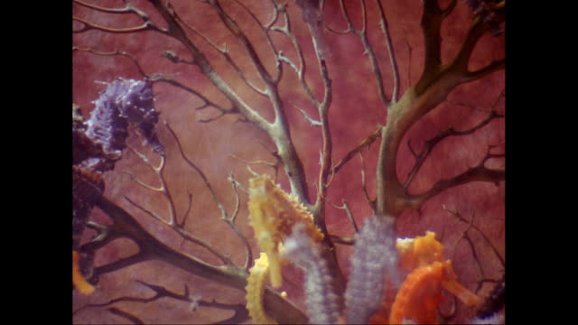 cu seahorses swimming in sea / united states - ecosystem stock videos & royalty-free footage