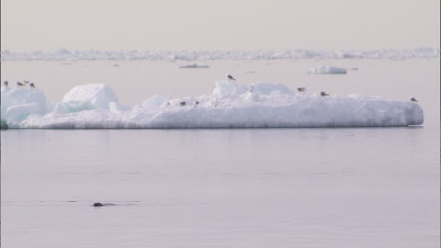 vidéos et rushes de seal and narwhal on the surface of the sea in the north pole - iceberg bloc de glace