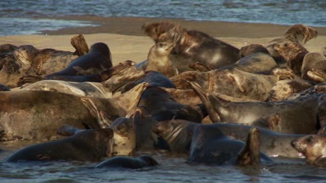 vídeos de stock e filmes b-roll de a seal colony languishes on a sandbar. - banco de areia