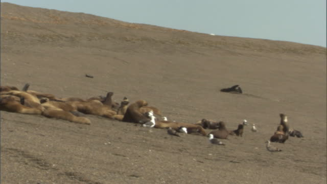 ws pan seal colony resting across beach / puerto madryn, chubut, argentina - argentina stock videos & royalty-free footage