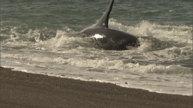 a seal escapes an attack by an orca on a beach. - hd format stock videos & royalty-free footage