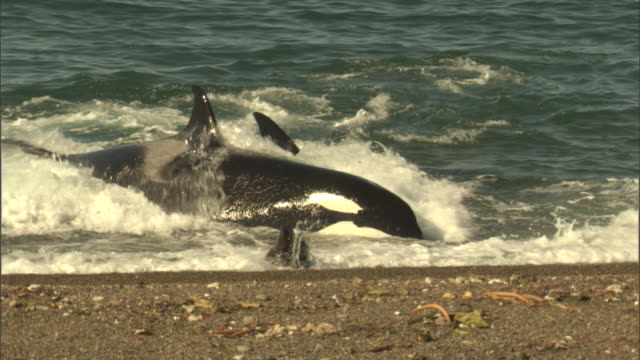 stockvideo's en b-roll-footage met a seal escapes an attack by two orcas. - zeehond