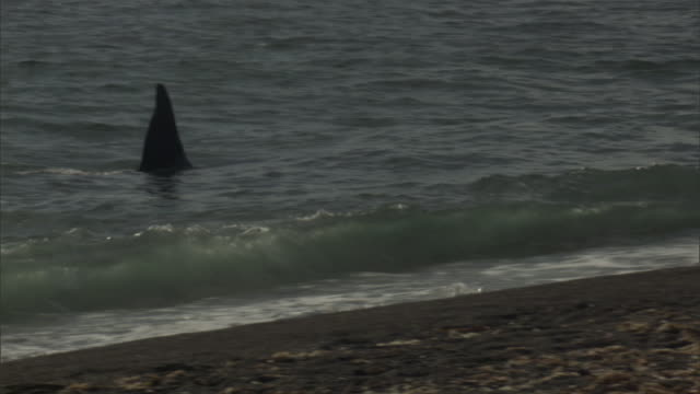 a seal escapes an orca attack. - provinz chubut stock-videos und b-roll-filmmaterial