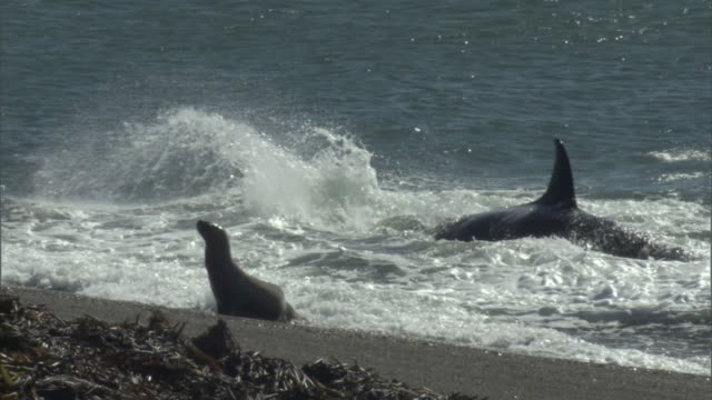 ws pan zi zo seal escaping orca attack on shoreline / puerto madryn, chubut, argentina - seal pup stock videos & royalty-free footage