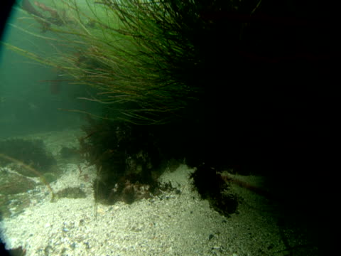 a seal hides under sea grass moving with the ocean current and then swims away. - sea grass plant video stock e b–roll
