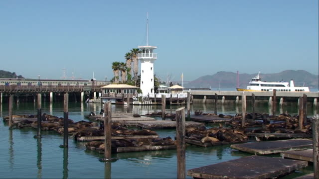 seal lions at pier 39 - san francisco, california - pier 39 san francisco stock videos & royalty-free footage