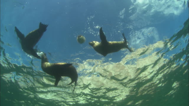 seal lions playing with ballonfish, mexico  - balloonfish stock videos and b-roll footage