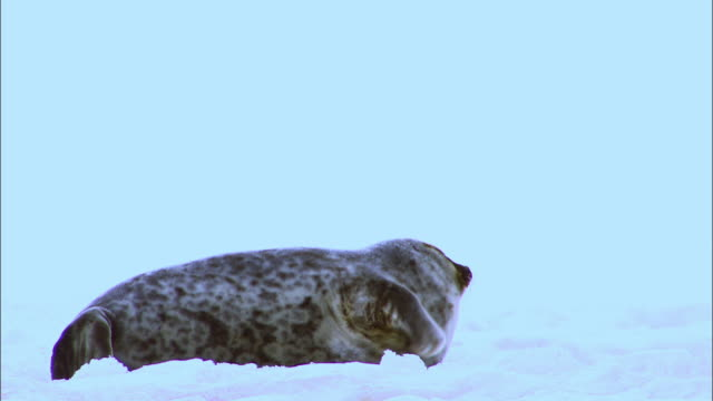seal lying on arctic glacier - seals stock videos and b-roll footage