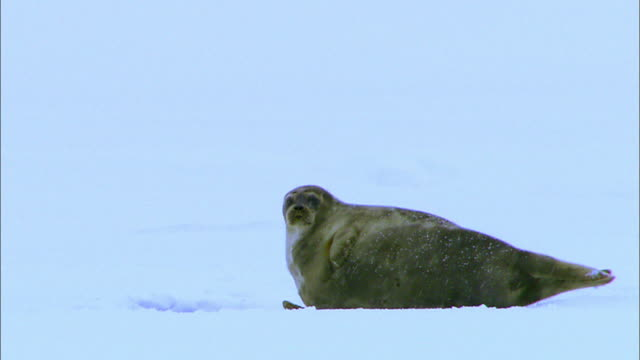seal lying on arctic glacier - seal animal stock videos & royalty-free footage